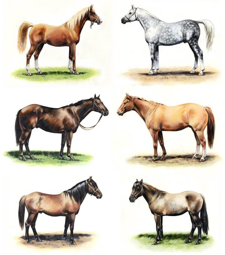 Types of horse breeds